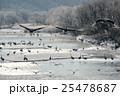樹氷とたくさんのタンチョウの飛翔姿 25478687
