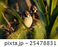 すずめ 野鳥 小鳥の写真 25478831