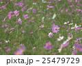 コスモス 秋桜 花の写真 25479729