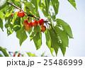 木になるサクランボ 25486999