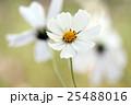 コスモス 秋桜 白色の写真 25488016