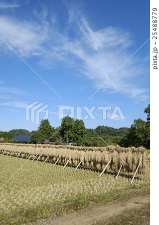 小田掛け 稲の自然乾燥  25488779