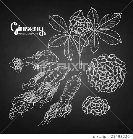 Graphic ginseng root and berriesのイラスト素材 [25498220] - PIXTA