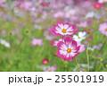 ピンク色と赤色のコスモスの花 25501919