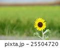 ミニヒマワリ 花 ひまわりの写真 25504720
