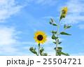 ミニヒマワリ 花 ひまわりの写真 25504721