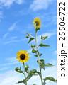 ミニヒマワリ 花 ひまわりの写真 25504722