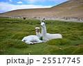 ボリビア アルパカ 25517745