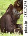母親に甘えるオランウータンの子供 25517876