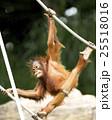 オランウータンの子供 木登り名人 25518016
