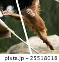 オランウータンの子供 木登り名人 25518018