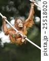 オランウータンの子供 木登り名人 25518020