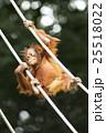オランウータンの子供 木登り名人 25518022