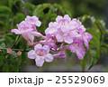 ピンクノウゼンカズラ ノウゼンカズラ 凌霄花の写真 25529069