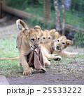 ライオンの赤ちゃん 25533222