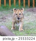 ライオンの赤ちゃん 25533224