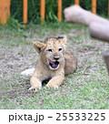 ライオンの赤ちゃん 25533225