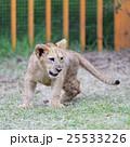 ライオンの赤ちゃん 25533226