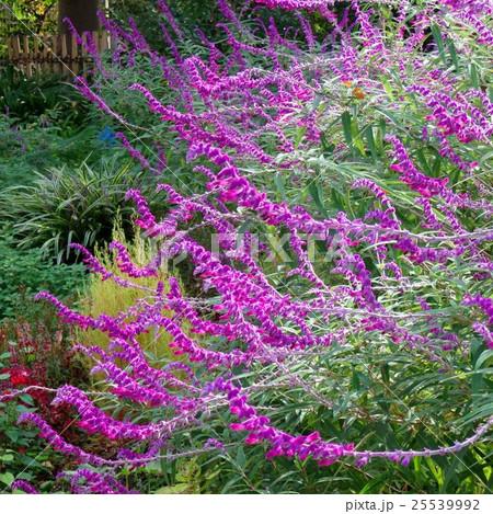 紫の花 25539992