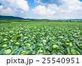 嬬恋村のキャベツ畑 25540951