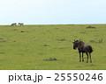 ヌーの後姿(ケニア) 25550246