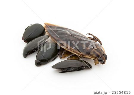 タガメとゲンゴロウ(昆虫食):Giant Waterbug & Diving beetles 25554819