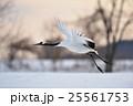 タンチョウ 飛び立つ 野鳥の写真 25561753