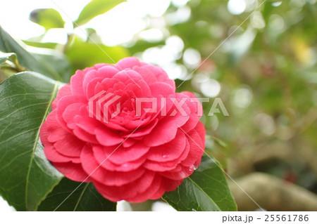 椿 菊冬至10 25561786