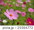 コスモスの花 25564772