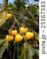 柿 渋柿 熟れ始めの写真 25567383
