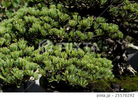 盆栽 五葉松 25570292