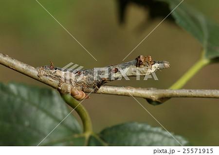 生き物 昆虫 クワコ、カイコの原種だそうです。カイコ同様クワの葉を食べます 25571915