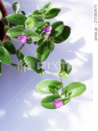 ツユクサの仲間・観葉植物、トラディスカンティア・シラモンタナ-3 25580975