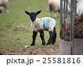 A lamb with a blue tag looking forward 25581816