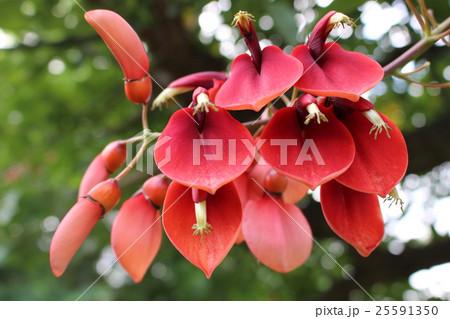 アメリカデイゴの花 25591350