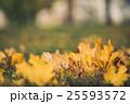 Yellow autumn Maple leaves on green grass. Bokeh 25593572