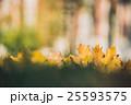 Yellow autumn Maple leaves on green grass. Bokeh 25593575