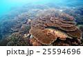 珊瑚 珊瑚礁 群生の写真 25594696