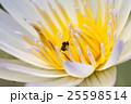 white lotus 25598514