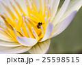 はなばち 花 ハスの写真 25598515