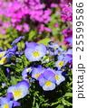 春色【ビオラ】 25599586