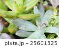 雨上がりの多肉植物と蟻 25601325
