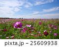 コスモス畑と秋の空 荒川河川敷 b 25609938