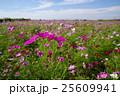 コスモス畑と秋の空 荒川河川敷 d 25609941