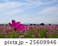 コスモス畑と秋の空 荒川河川敷 g 25609946