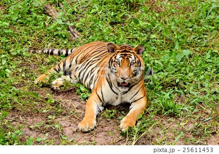 bengal tigerの写真素材 [25611453] - PIXTA