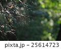 ジョロウグモ 木洩れ日 蜘蛛の巣の写真 25614723