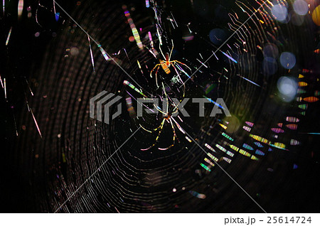 ジョロウグモの巣 25614724