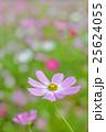 ピンク色と赤色のコスモスの花 25624055