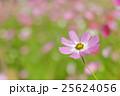 ピンク色と赤色のコスモスの花 25624056
